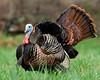 Male Wild Turkey (Meleagris gallopavo)<br /> Tennessee Wildlife Calendar, April 2014