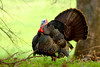Male Wild Turkey (Meleagris gallopavo)<br /> Featured in Tennessee Wildlife Calendar, May 2016