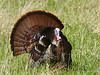 Male Wild Turkey (Meleagris gallopavo)