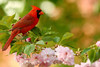 Male Northern Cardinal (Cardinalis cardinalis)<br /> Featured in Tennessee Wildlife Calendar, March 2016
