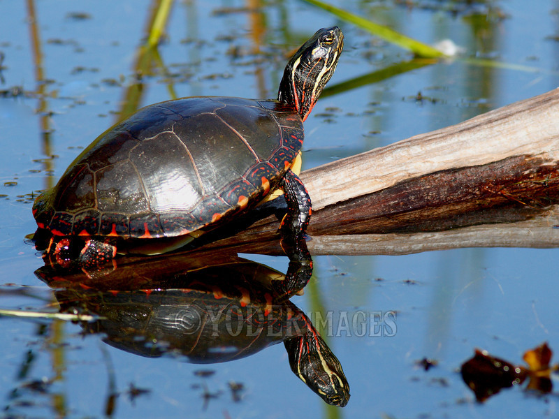 Painted Turtle (Chrysemys picta)<br /> Tennessee Wildlife Calendar, March 2013