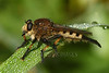 Female Giant Robber Fly (Promachus hinei)
