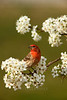 Male House Finch (Haemorhous mexicanus)<br /> East Tennessee Living Cover, Spring 2013