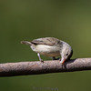 Pale beak Flycatcher