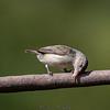 Pale beak Flycatcher