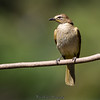 Brown throated Bulbul
