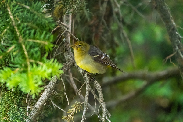Western Tanager - Female