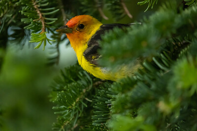 Western Tanager - Male