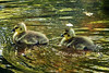 Goslings - Celery Farm - Allendale, NJ