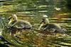Goslings - Celery Farm - Allendale, NJ