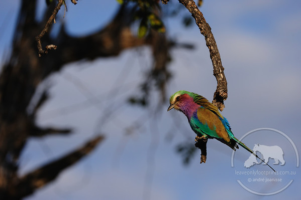 Zambia - Lilac Breated Roller, South Luangwa National Park
