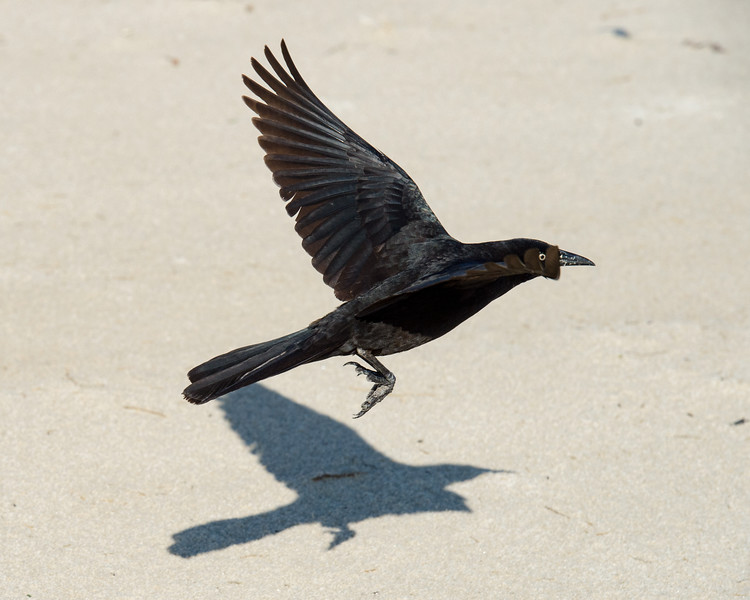 Grackle shore bird - Outer Banks, NC