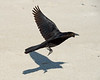 Grackle shore bird - Outer Banks, NC