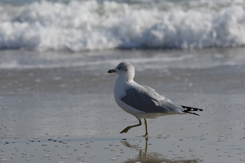 Seagull - Outer Banks, NC