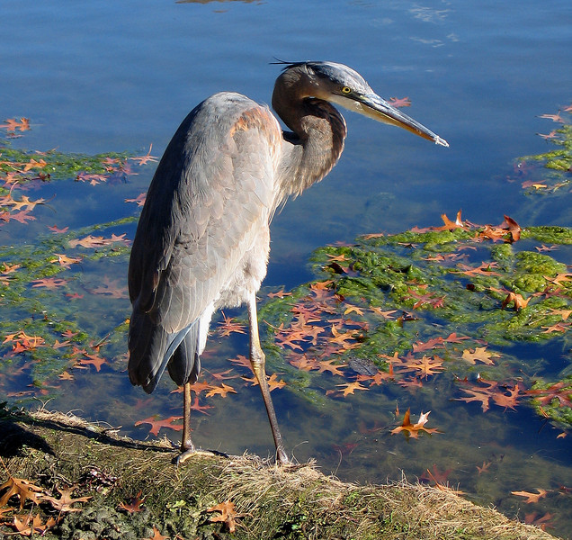 Blue heron - Duck Pond, Ridgewood, NJ
