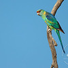 Mallee Ringneck, Mungo National Park, NSW