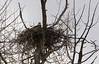 Eagle in nest along the Snake River - Grand Teton