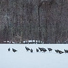 Wild Turkey's on a Snowy Day