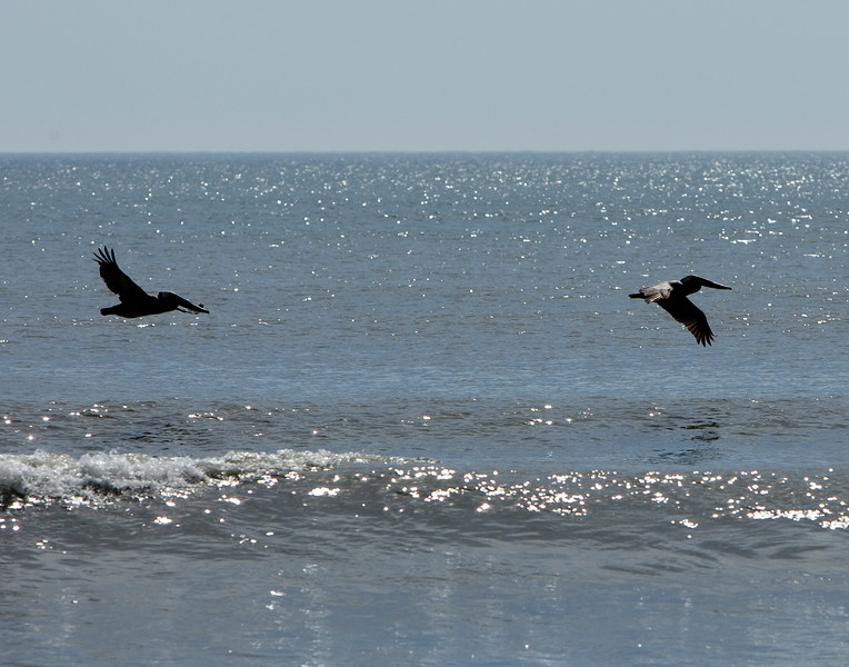 Black Pelicans - Outer Banks, North Carolina