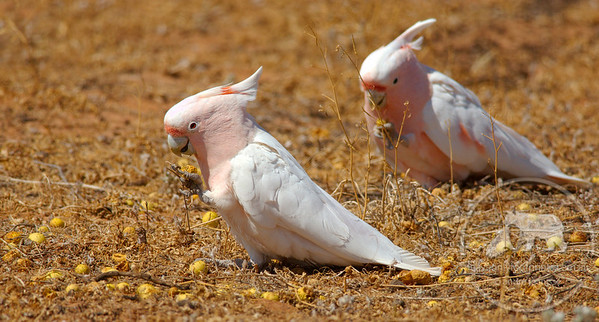 Major Mitchell Cockatoos, Mungo National Park. This photo reached the semi-finals in the Shell Wildlife Photographer of the Year 2008. It was entered in the Animal Behaviour: Birds category.
