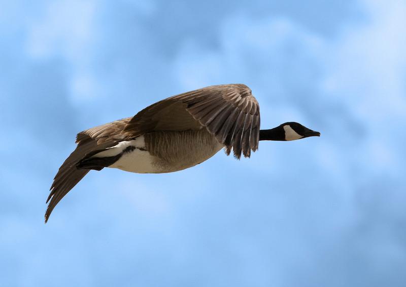 Canada Goose flying over Snake River - Grand Teton