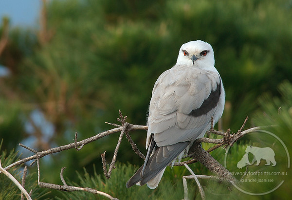 Black Shouldered Kite, Redhead NSW