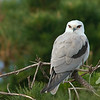 Black Shouldered Kite, Redhead NSW