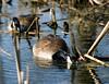 Canada Geese - Celery Farm -  Allendale, NJ