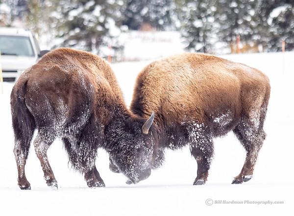 Fighting Bison