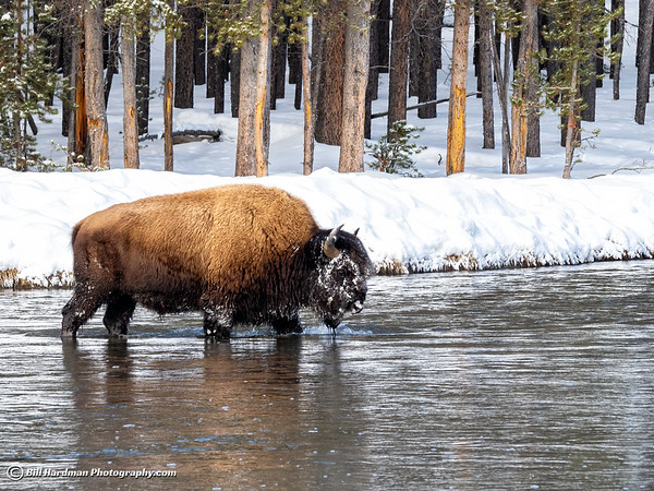 Bison crossing the River