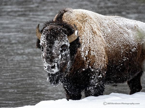 Masked Bison