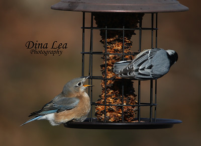 Eastern Bluebird & White Breasted Nuthatch