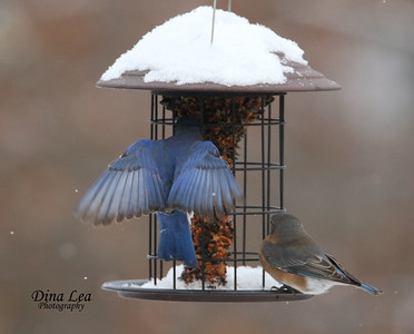 Eastern Bluebird in Snow