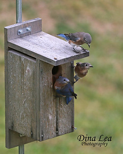 Eastern Bluebird (Three Juveniles)