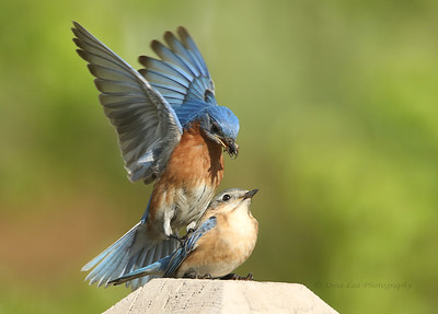 Eastern Bluebird (male & female)