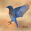 Eastern Bluebird In-Flight