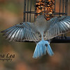 Eastern Bluebird Wings