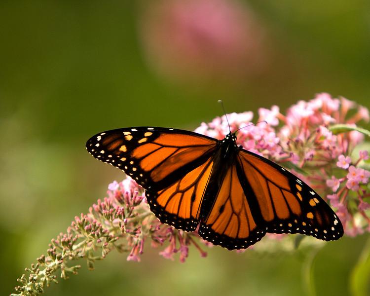 Monarch - Male