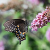 Spicebush Swallowtail - August 10, 2016