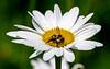 Bee on Shasta Daisy - July 2021