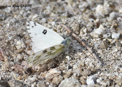 Becker's White Butterfly - 4/14/2019 - Agua Caliente County Park Marsh Trail