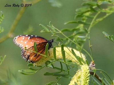 Queen Butterfly - 4/13/2019 -  Agua Caliente County Park Marsh Trail