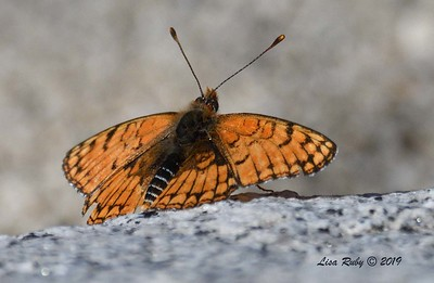 Sagebrush Checkerspot - 4/13/2019 - Agua Caliente County Park Marsh Trail