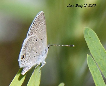 Little Blue Butterfly - 4/14/2019 - Agua Caliente County Park Marsh Trail