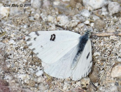 Becker's White Butterfly - 4/14/2019 - - Agua Caliente County Park Marsh Trail