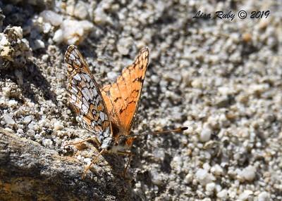 Sagebrush Checkerspot - 4/13/2019 - Agua Caliente County Park Marsh Trail