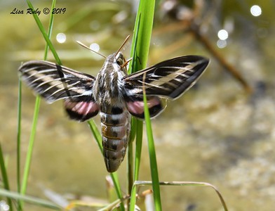 White-lined Sphinx Moth - 4/14/2019 - Agua Caliente County Park Marsh Trail