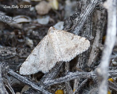 Macariini (tribe) Moth not sure of species - 4/14/2019 - Agua Caliente County Park Marsh Trail