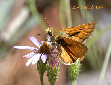 Wooded? Skipper  Butterfly  - 9/8/2019 - Agua Dulce, Mount Laguna