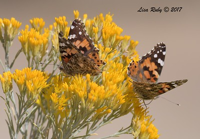 Painted Lady Butterflies - 10/17/2017 - Watson Lake Riperian Area, Prescott AZ